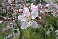 Sakura_4957