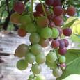 Grape7264