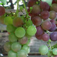 Grape7273