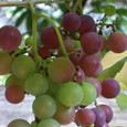 Grape7277
