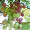 Grape7278