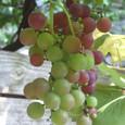 Grape7280