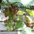 Grape7281