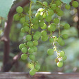 Grape_6423