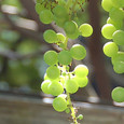 Grape_6428