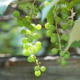 Grape_6436