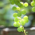 Grape_6436r