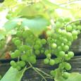 Grape_7413r