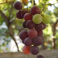 Grape_9394rr