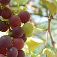 Grape_9405