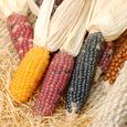 Corn_9735
