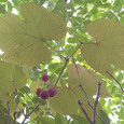 Grape_1647