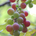 Grape_5109