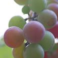 Grape_5129