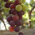Grape_9394r