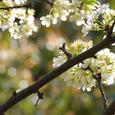 Apricot_4491