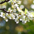Apricot_4499