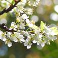 Apricot_4499r