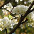 Apricot_4512