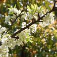 Apricot_4526r