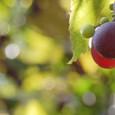 Grape_9401